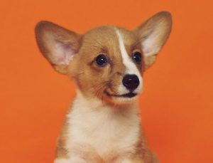 Small puppy on orange background